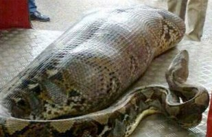 python-india