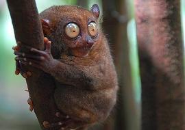 lemur- azeri