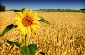 Sunflower_and_wheat